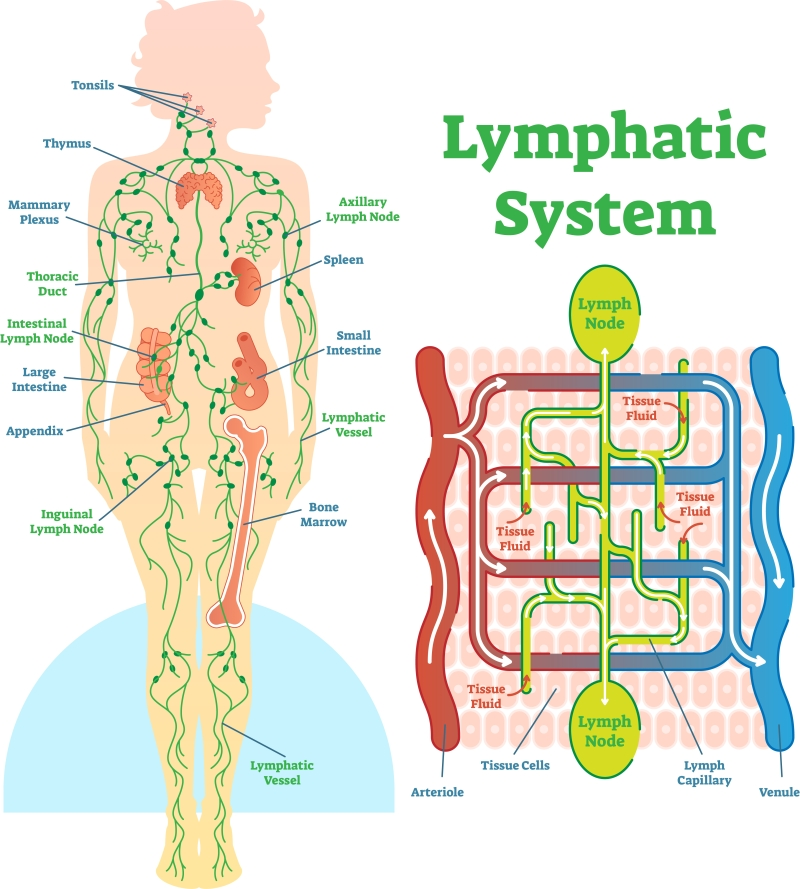 trampoline benefits - lymphatic system